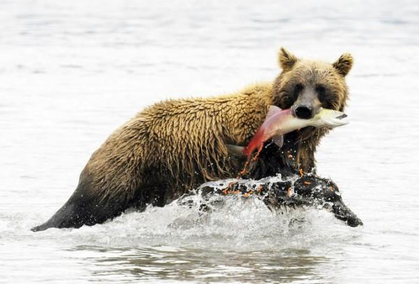 animals-hunt-for-food-07