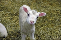 innocent-baby-lamb