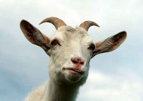 goat-with-horns-fotolia-web